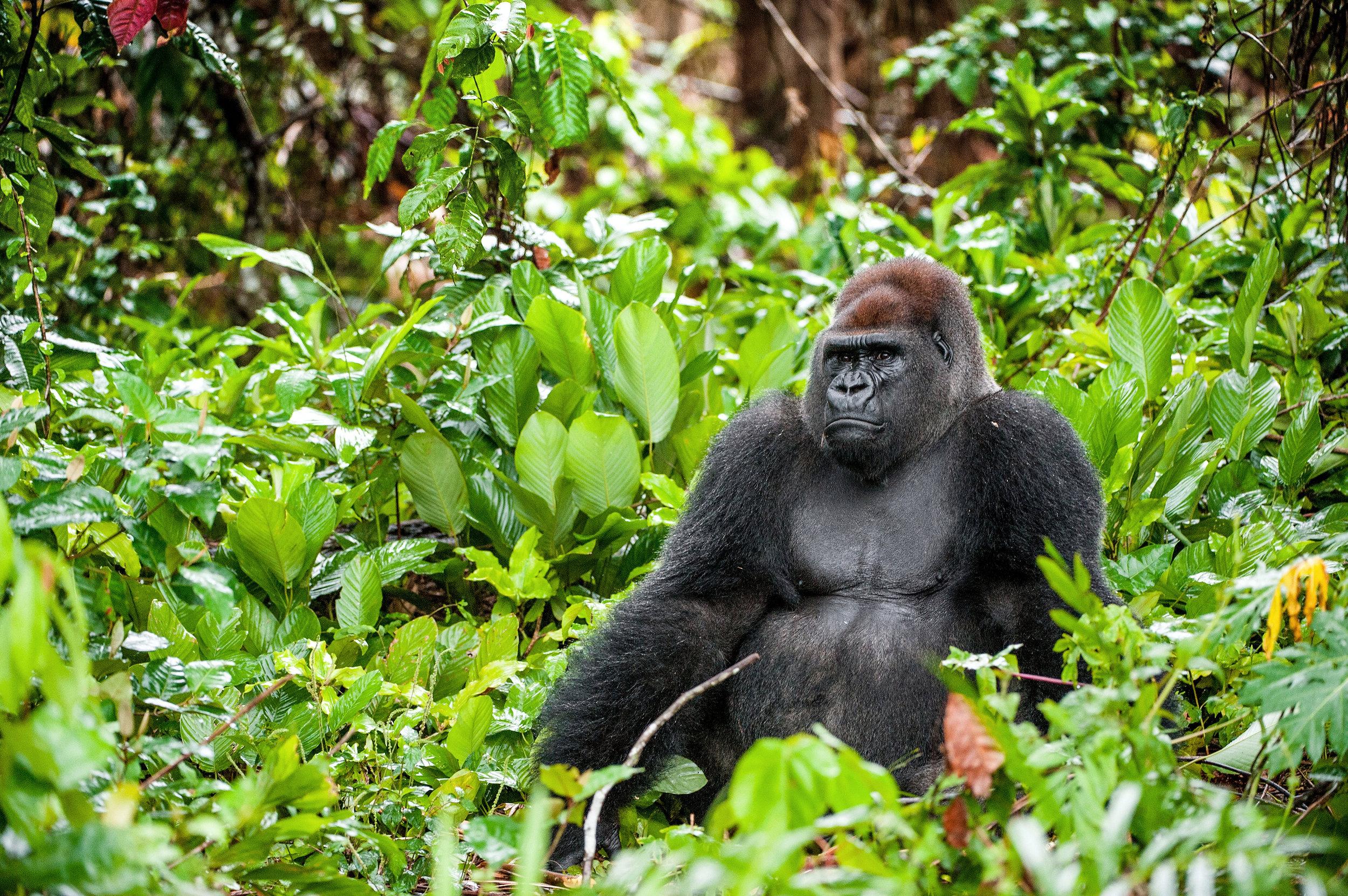 Portrait of a western lowland gorilla (Gorilla gorilla gorilla) close up at a short distance. Silverback - adult male of a gorilla in a native habitat.