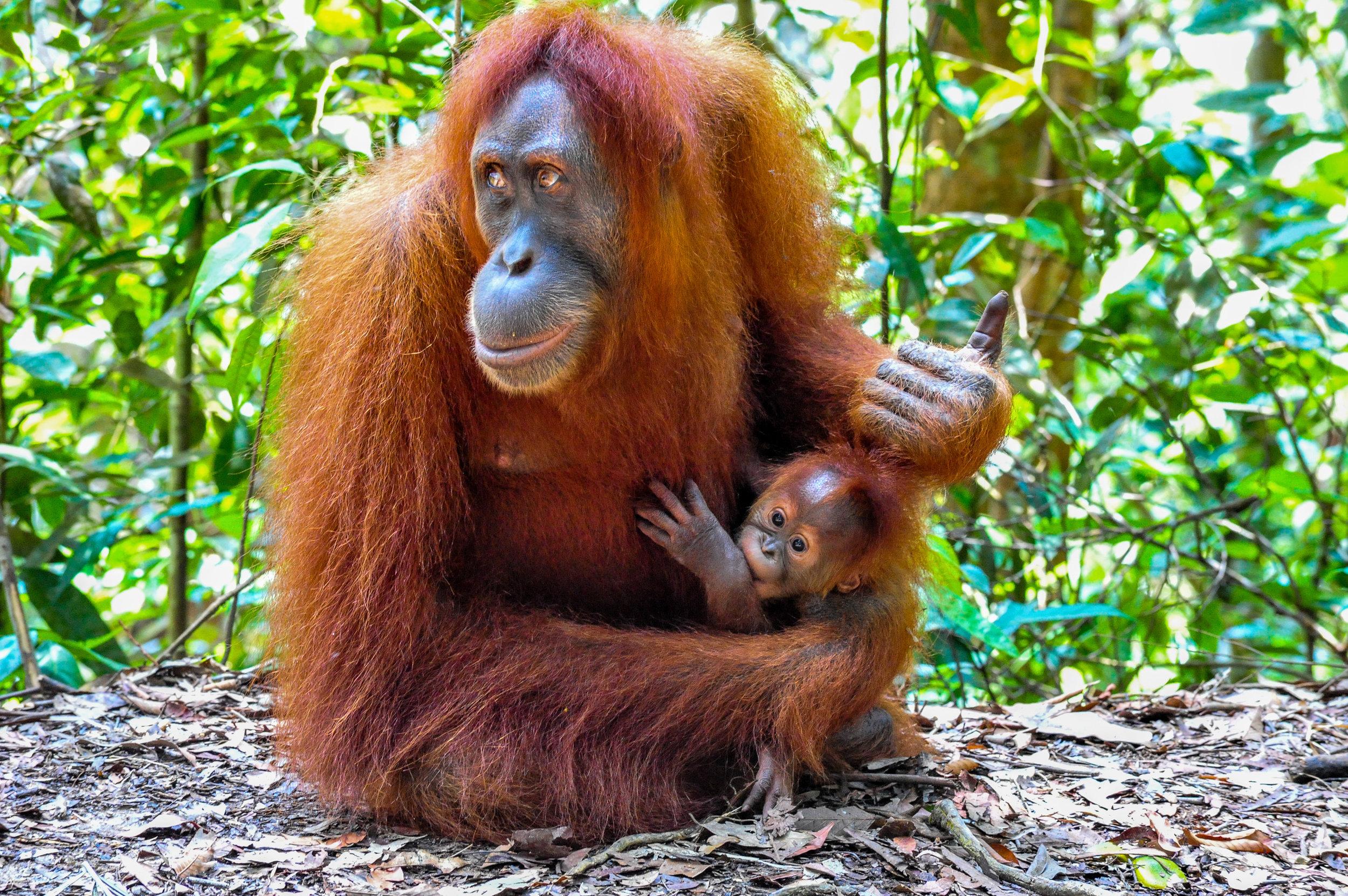 Mother Sumatran Orangutan with her baby