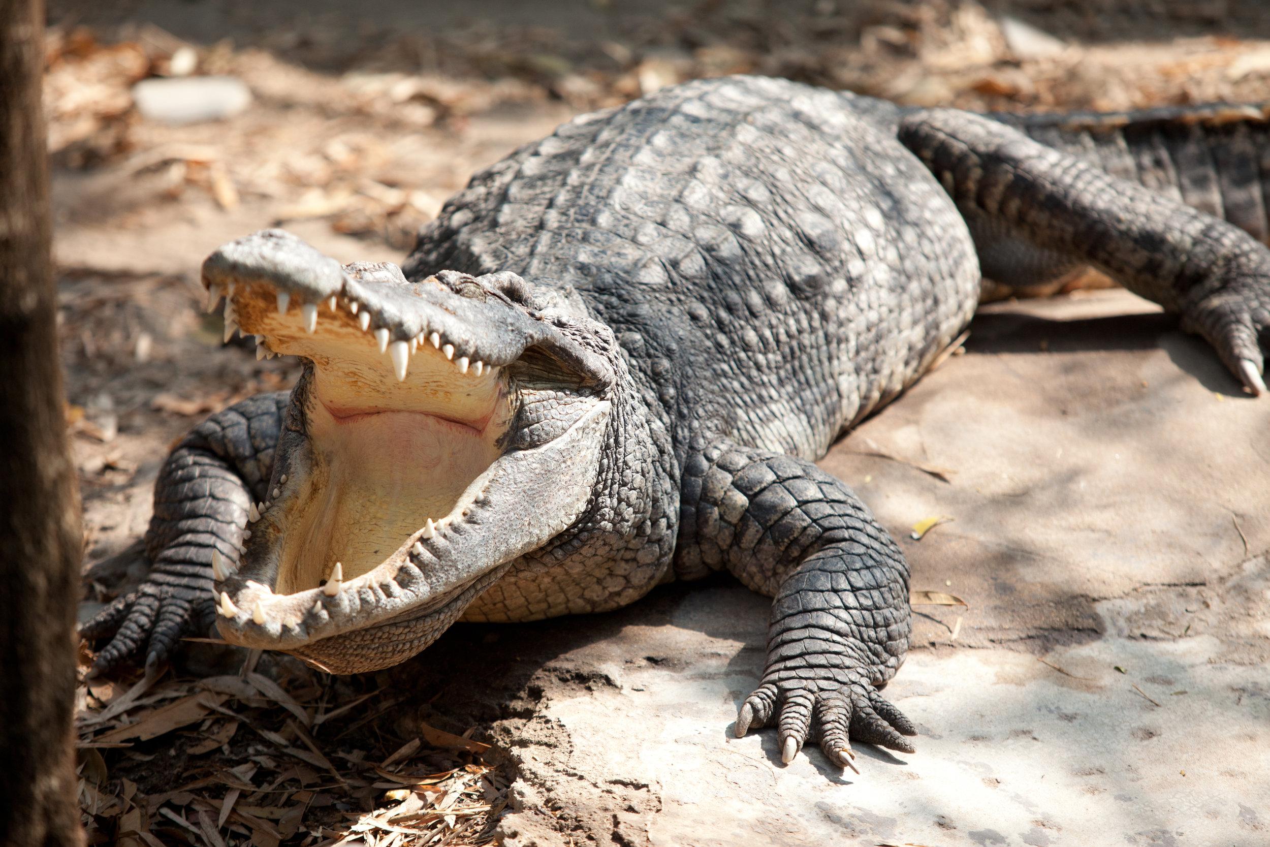 Closeup eye of a saltwater crocodile