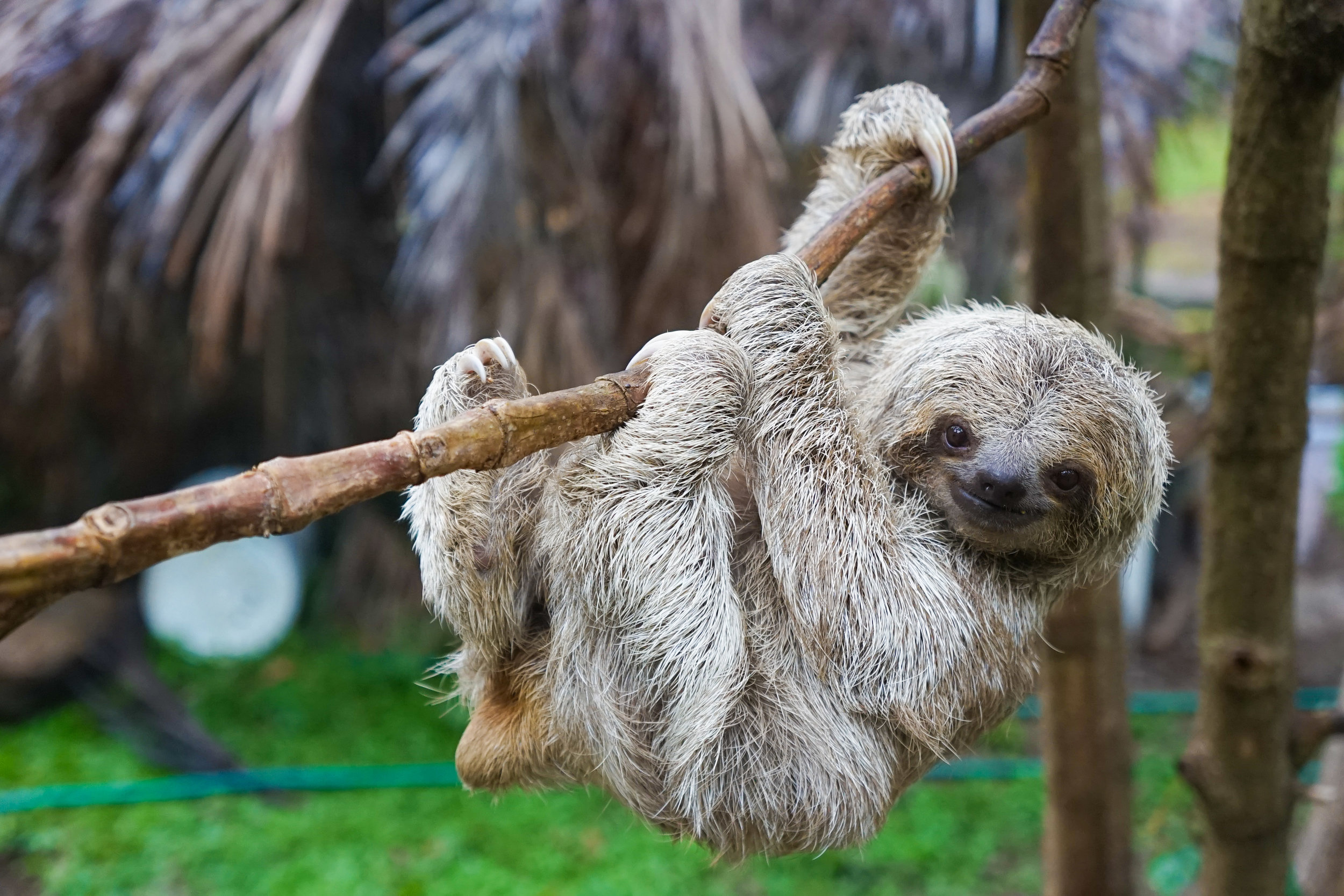 Baby Sloth in Tree in Costa Rica