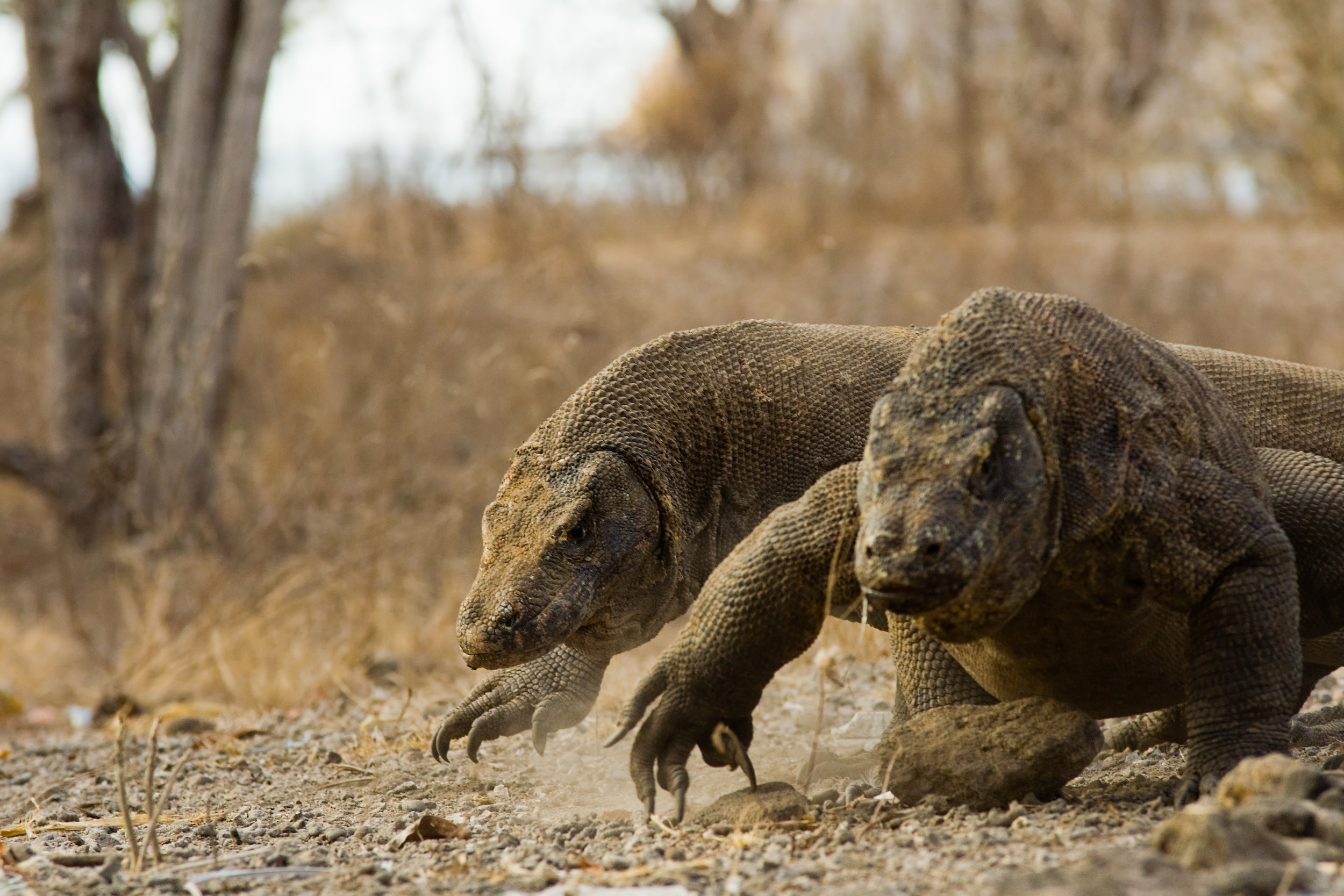 Komodo Dragons Run For Food