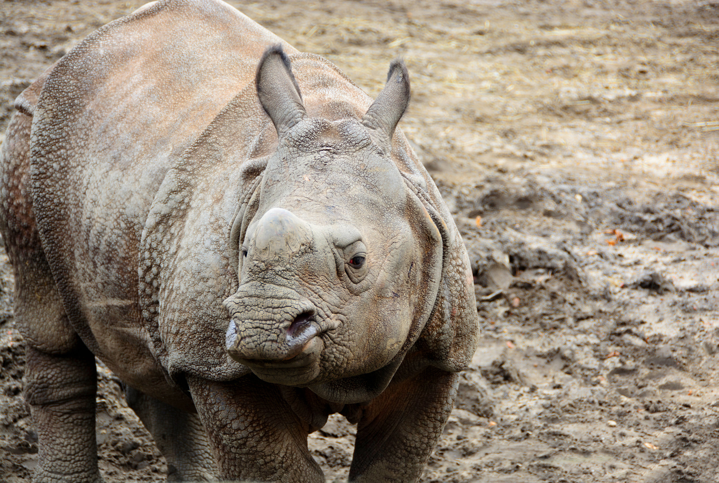 Beautiful Indian One Horned Rhinoceros. Curious young rhino.