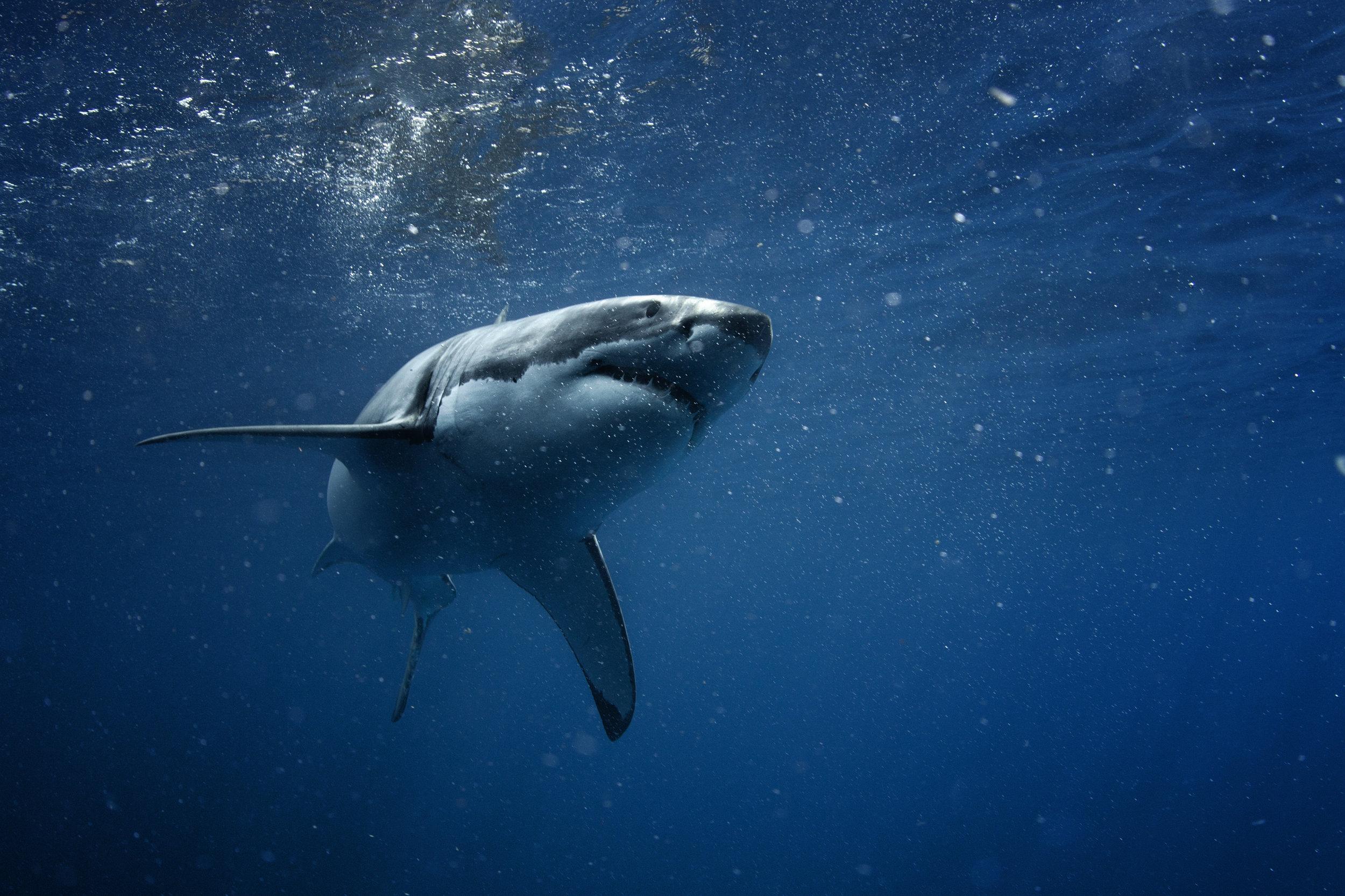 Great White Shark in blue ocean. Underwater photography. Predator hunting near water surface.