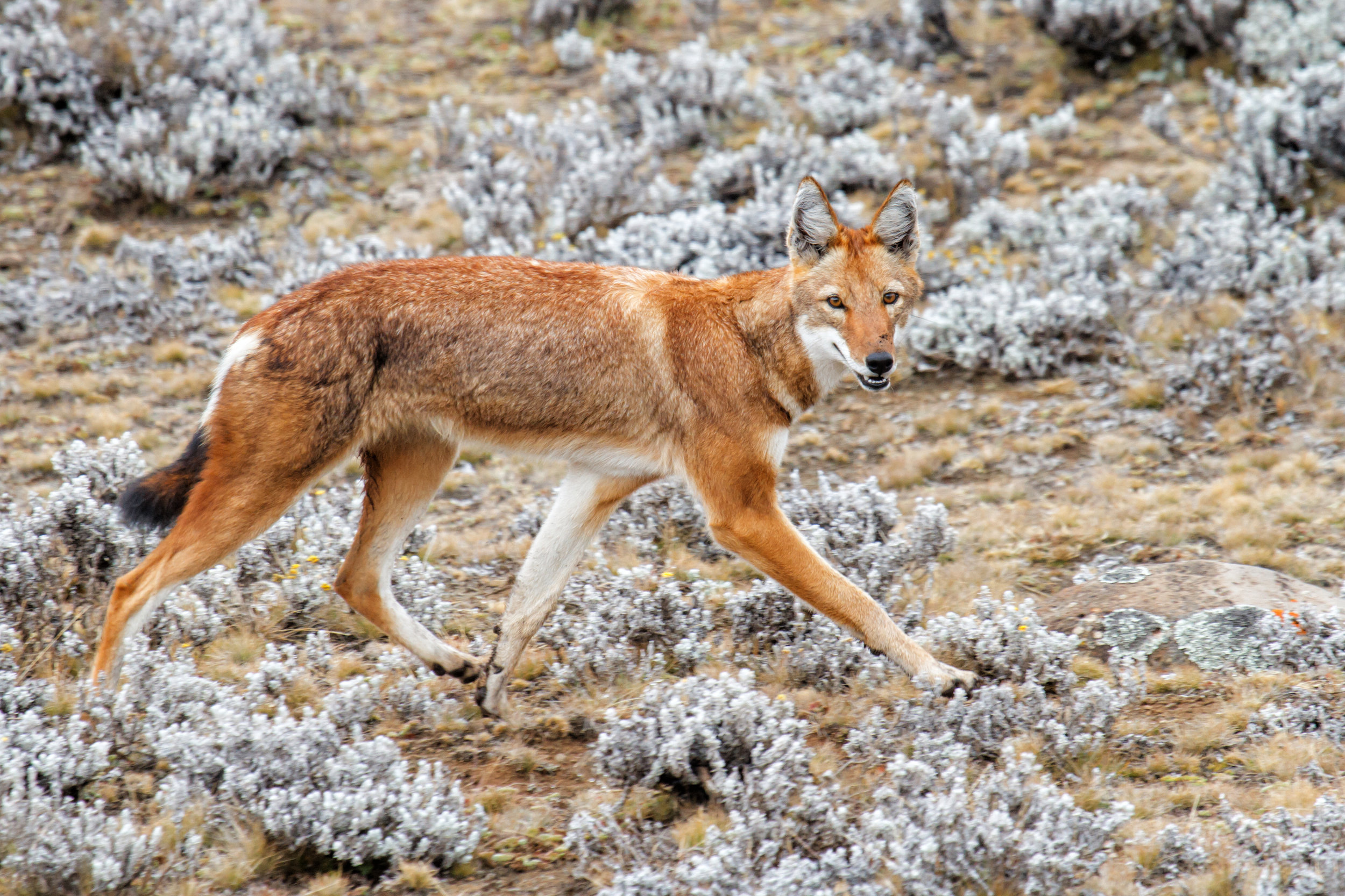 Ethiopian wolf walking on the Sanetti Plateau in the Bale Mountains in Ethiopia