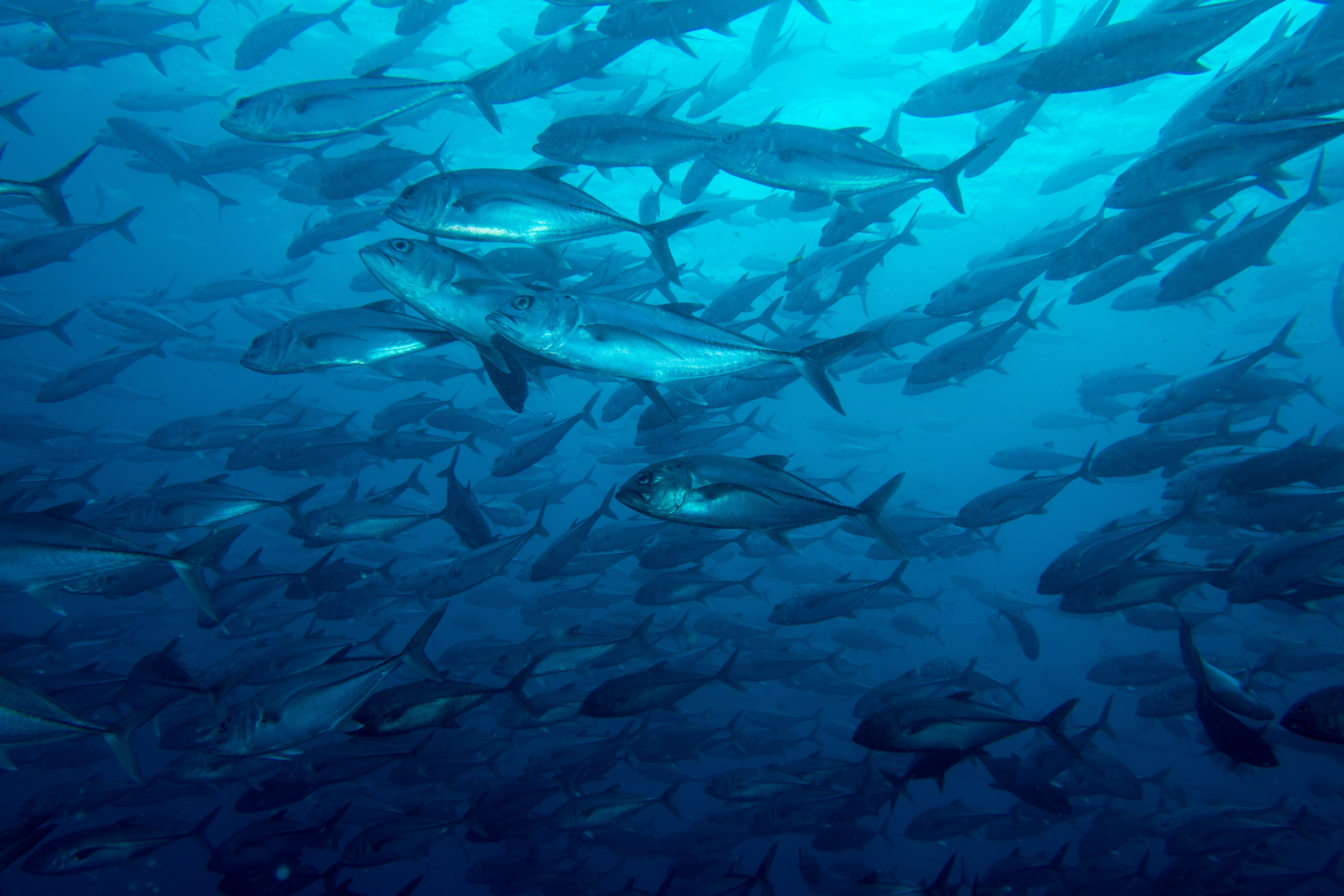 School of jackfish