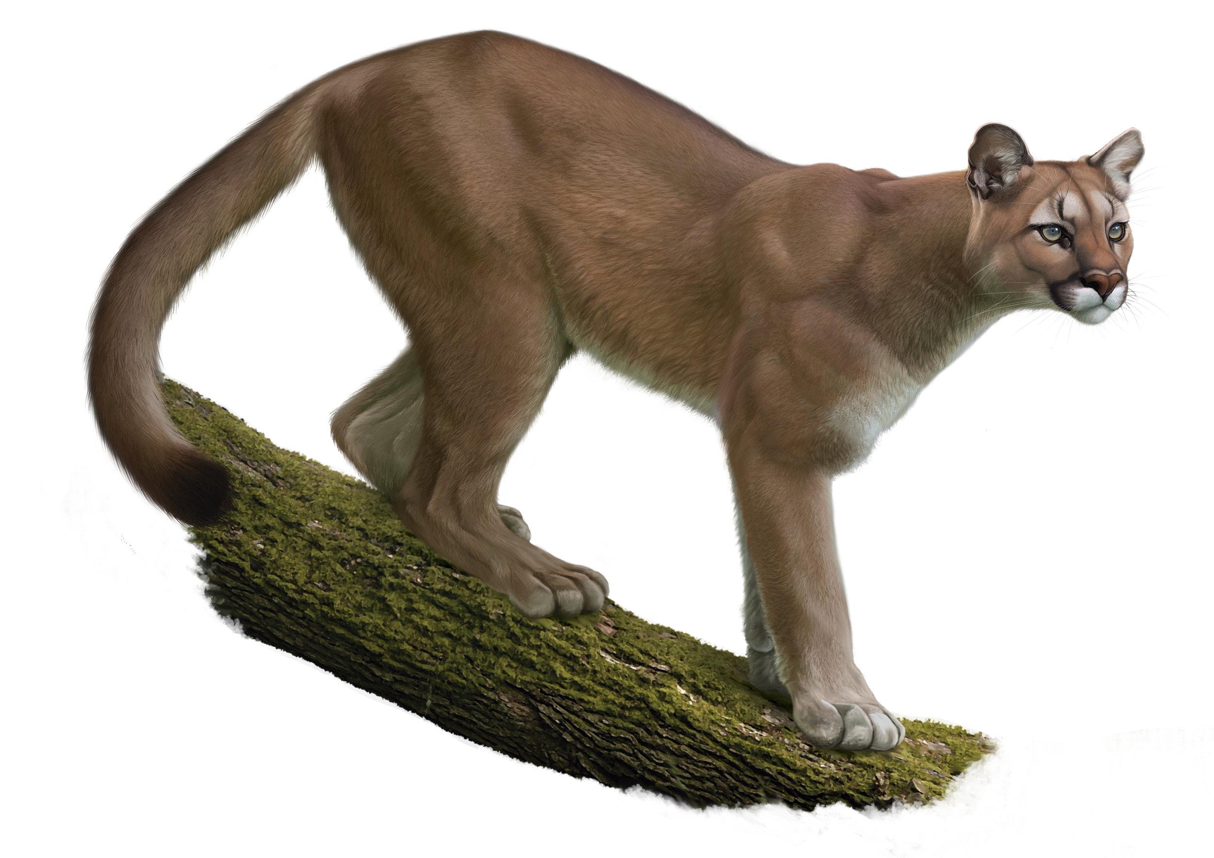 12-cougar-javiera-constanzo.jpg