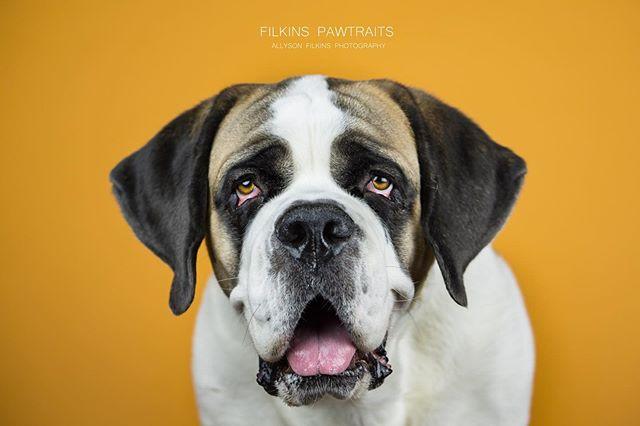 "My very own ray of sunshine #TeacupTheSaintBernard looking lovely on ""marmalade"" by @SavageUniversal. You can follow her personal adventures here @allysonfilkins ⠀ ♡⠀ ♡⠀ ♡⠀ ♡⠀ ♡⠀ ♡⠀ #aplaceforsaints #stbernards #stbernardsonly #stbernardsofinstagram #savageuniversal #stbernardlovers⠀ #bigdoggie #bigdogstatus #bigdoglife #bigdoggy #bigpaws #bigpawsbigheart #aplaceforpets #saintbernardmoments #saintbernardgram #gentlegiantoftheday #gentlegiantsofig #noladogs ⠀ #aplacetolovedogs #purebred #dailybarker #lifewithdogs #sunshine #thursdaythoughts"