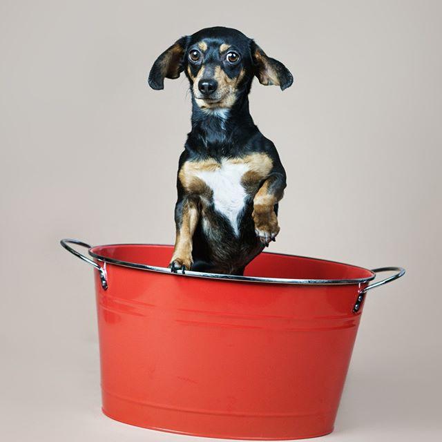 Happiness is a warm puppy. Wishing all my followers a happy Saturday! ♡ ♡ ♡ ♡ ♡ ♡ #weinerworld #weinerdogsofinstagram #dachshund #dachshund_world #dachshundlove #dachshunds #dachshundoftheday_ #dachshund_feature #dachshunddaily #dachshund_corner #smalldogbigheart #littledogsofinstagram #petphotography #cute #dachshundsofnola #love #happy