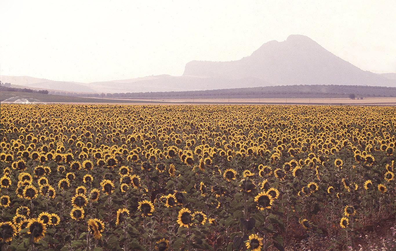 sunflower field antequera spain clean.jpg