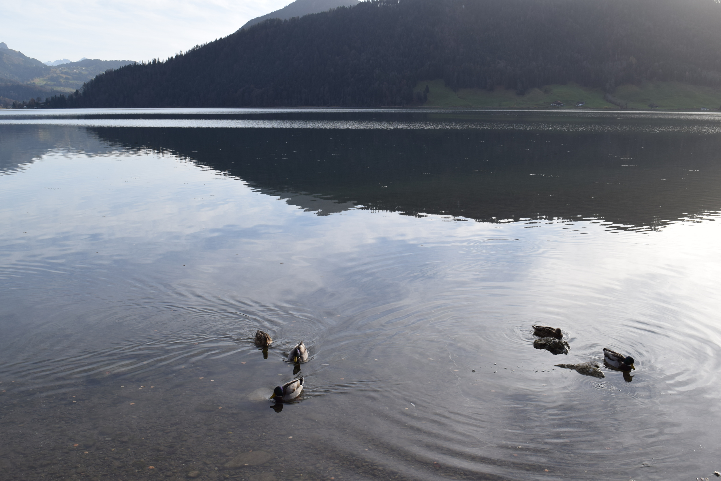 Ducks on Lake Ägeri- perhaps we were destined to be a UO family