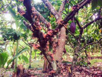 cocoa-tree-cacao-farm-bali-indonesia-flowers-pods-organic-biodiversity-shadegrown