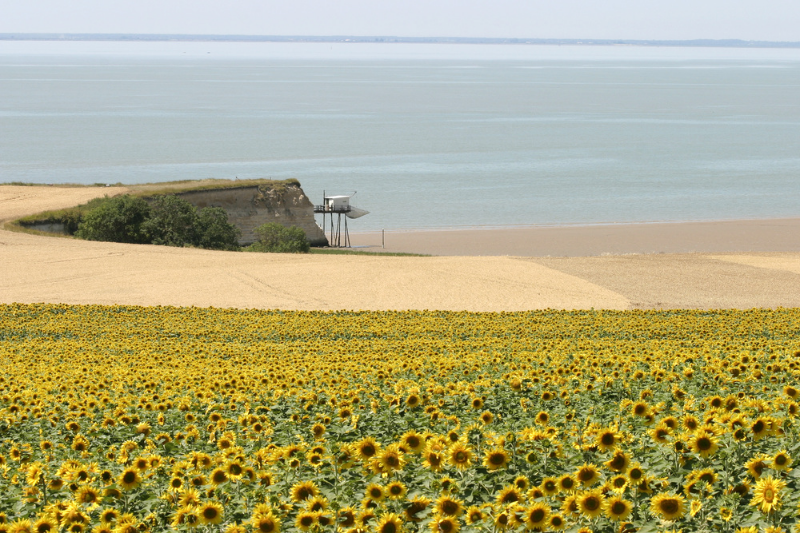 Carrelets-and-sunflower-on-the-Gironde-estuary-Atlantic-coast-Poitou-Charentes-South-West-France.jpg