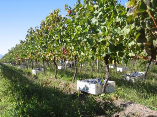 Cabernet Sauvignon harvest at Alta Cima. Photo courtesy of Alta Cima.