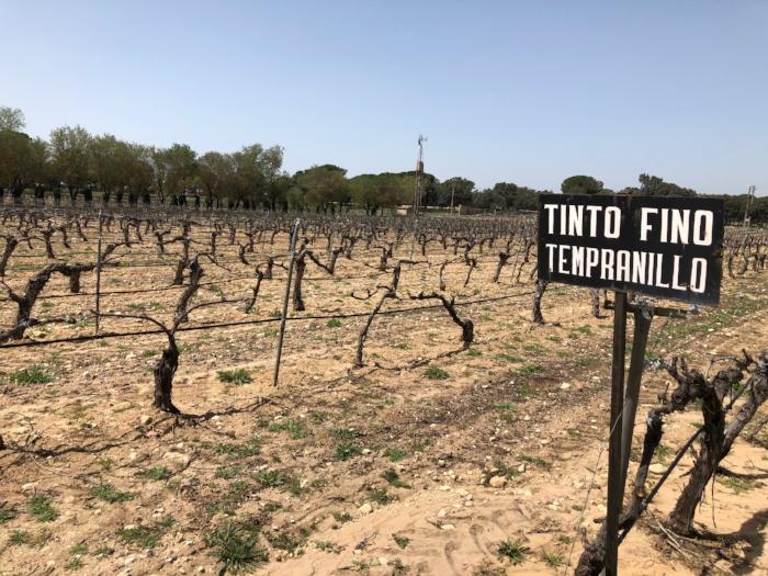 Sandy soils in the high altitude area of Ribera del Duero, Spain.