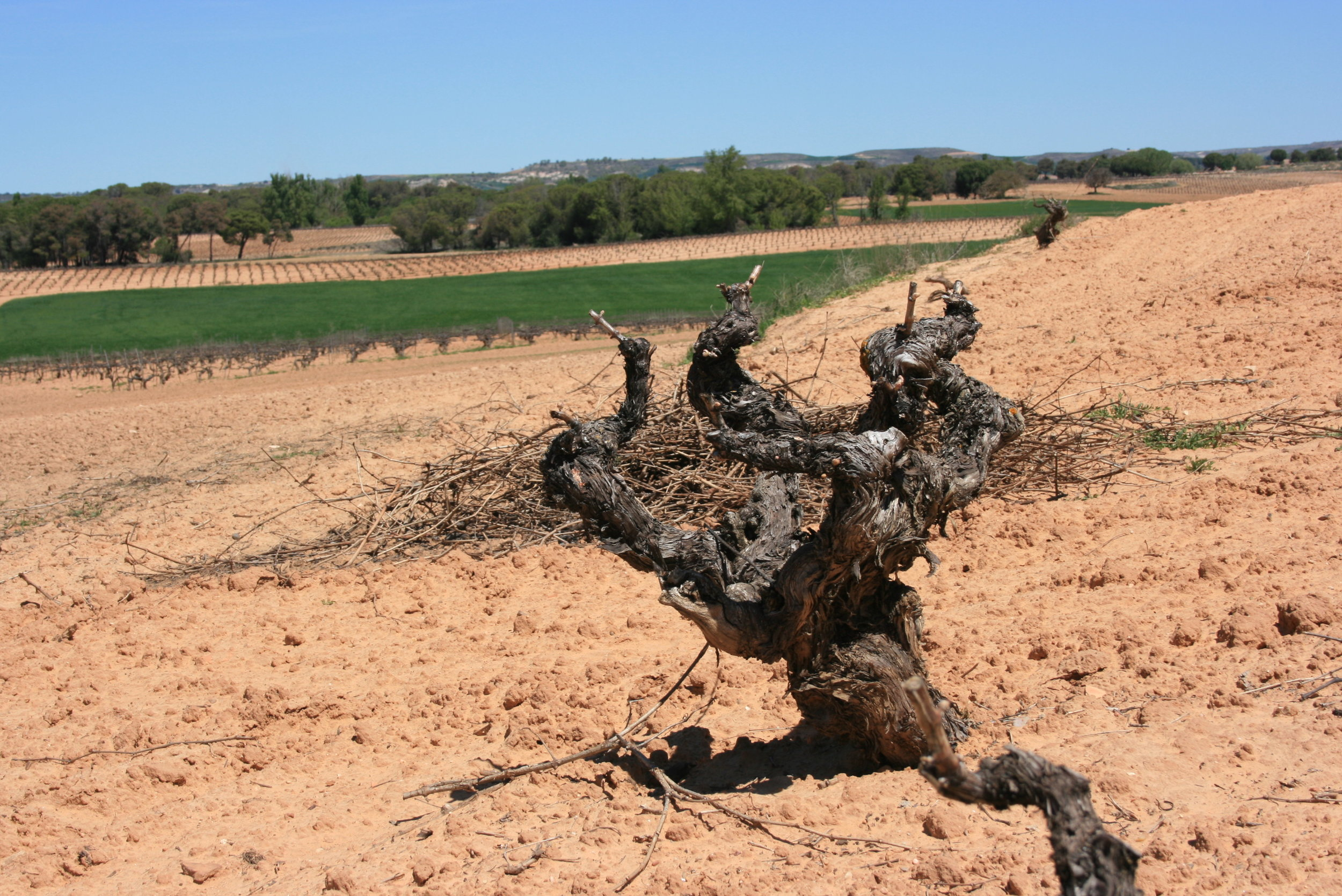 Old vines of Tempranillo from Torremoron winery.
