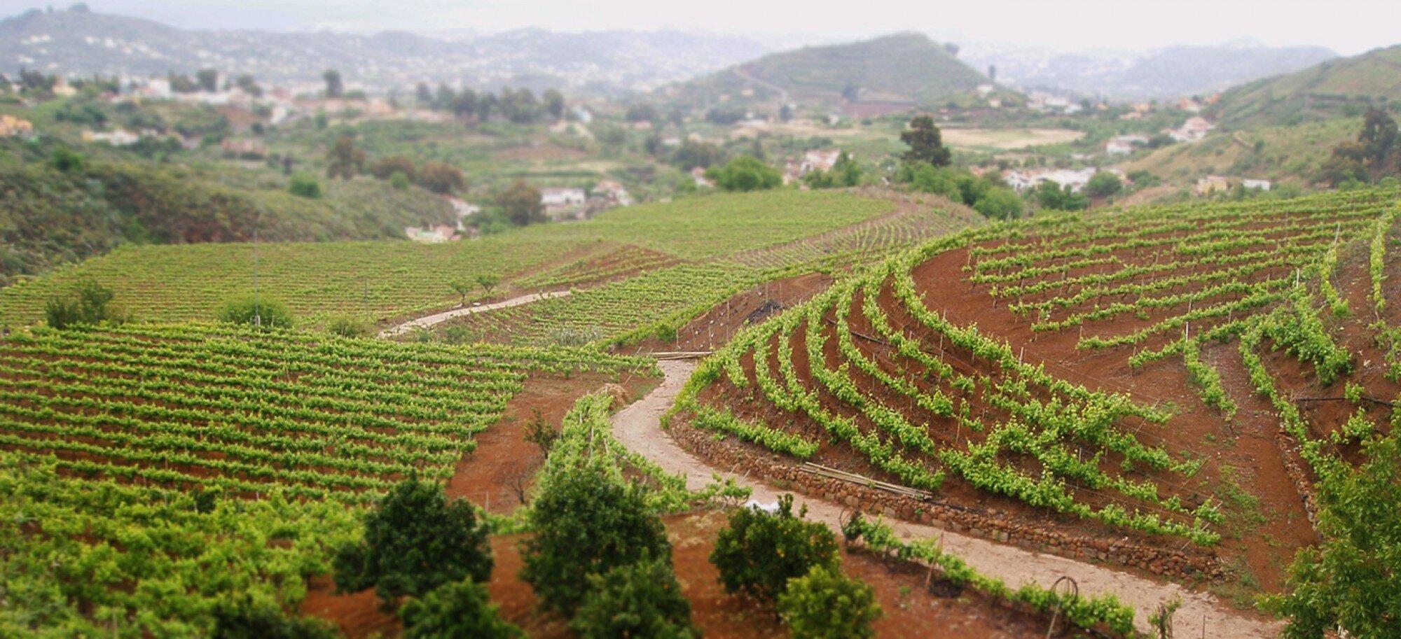Where the grapes for the Fronton de Oro Rosado come from!