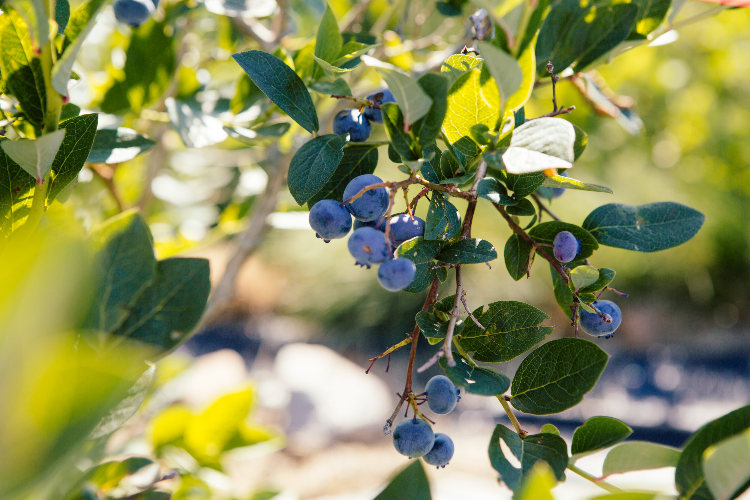 Blueberries from Adam's Berry Farm