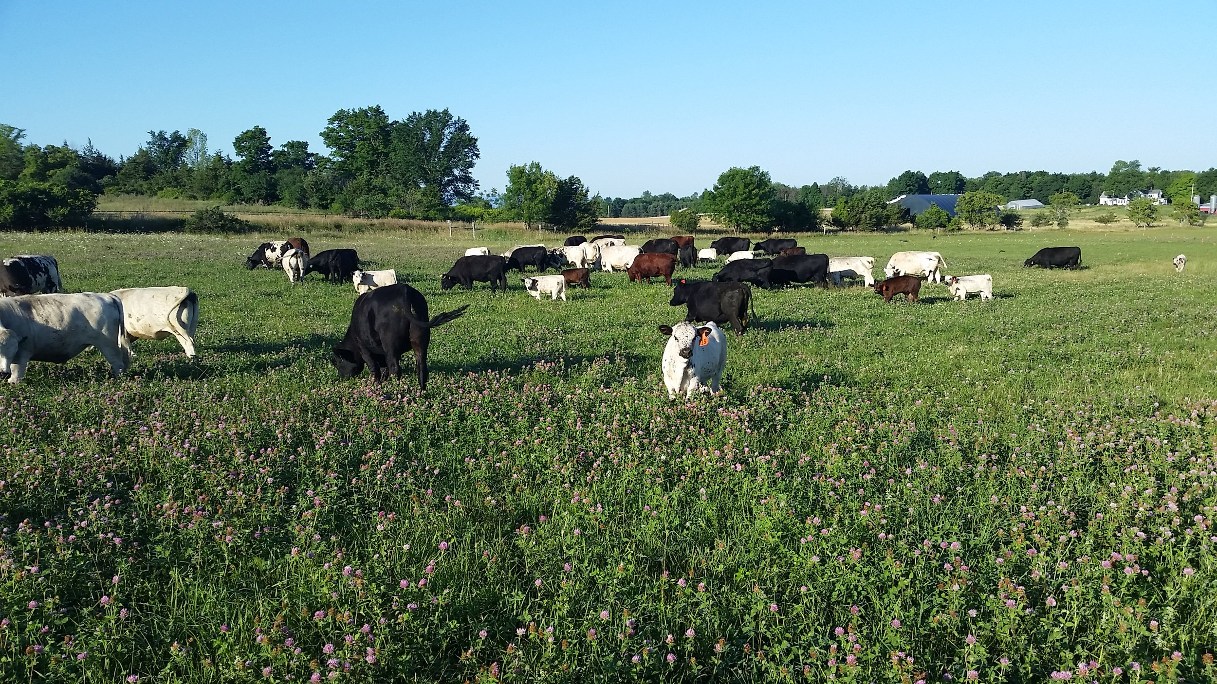 Health Hero Farm Cows Graze on Clover