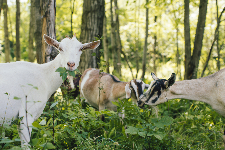 Does Leap Goats.jpeg