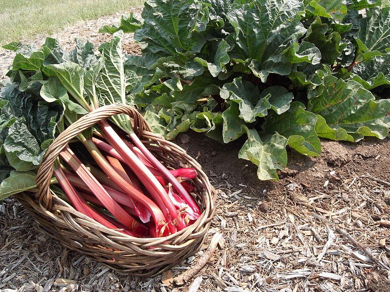 Rhubarb 2.jpg