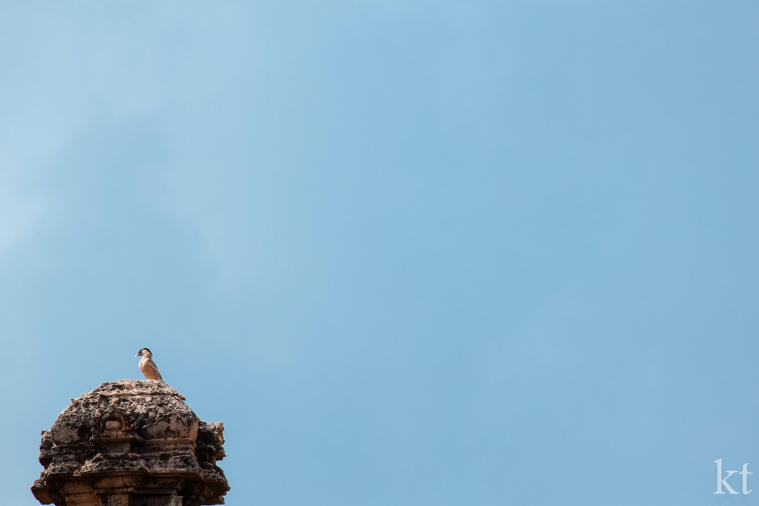 Pagoda Starling