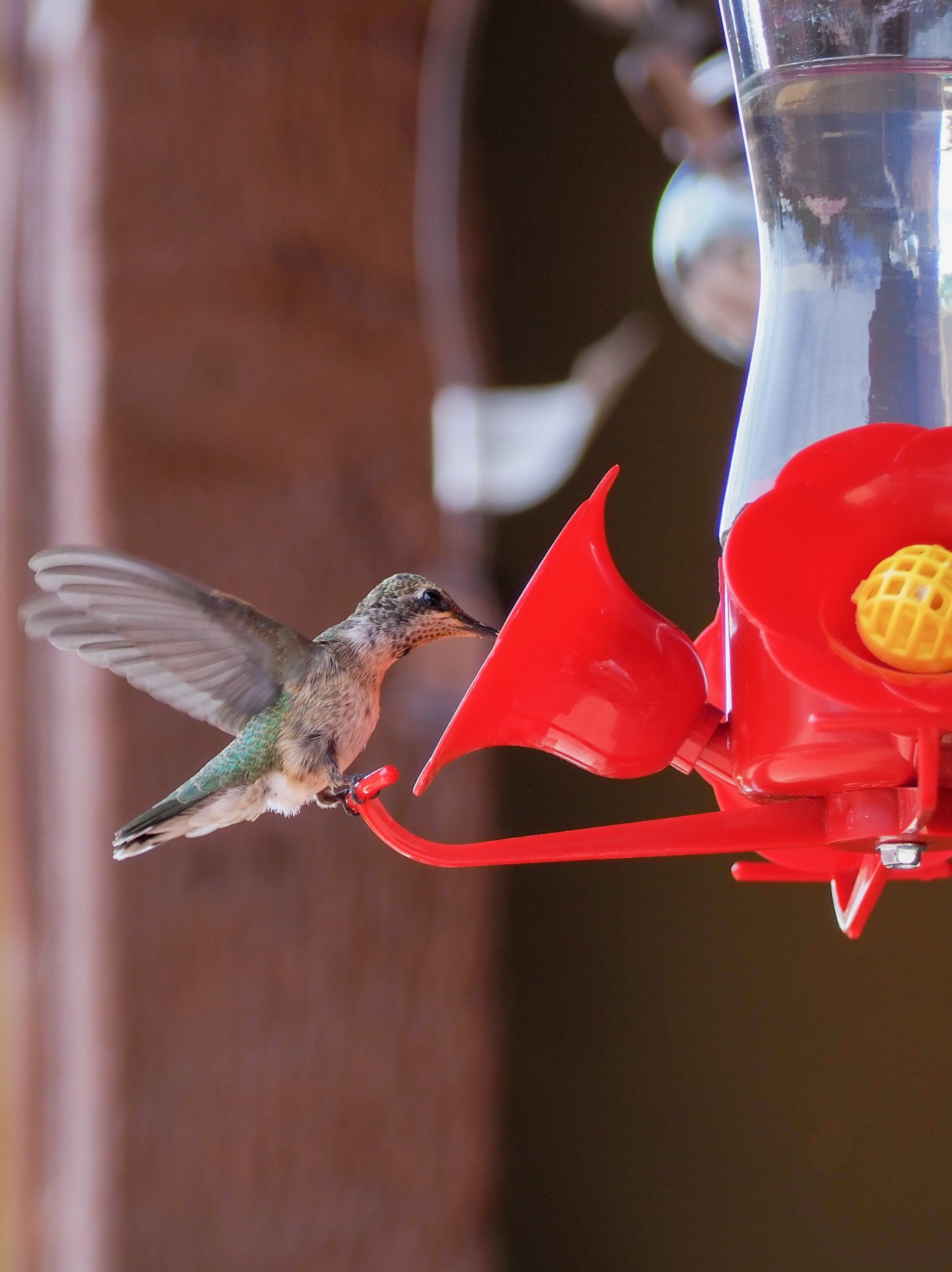 A female black-chinned hummingbird.
