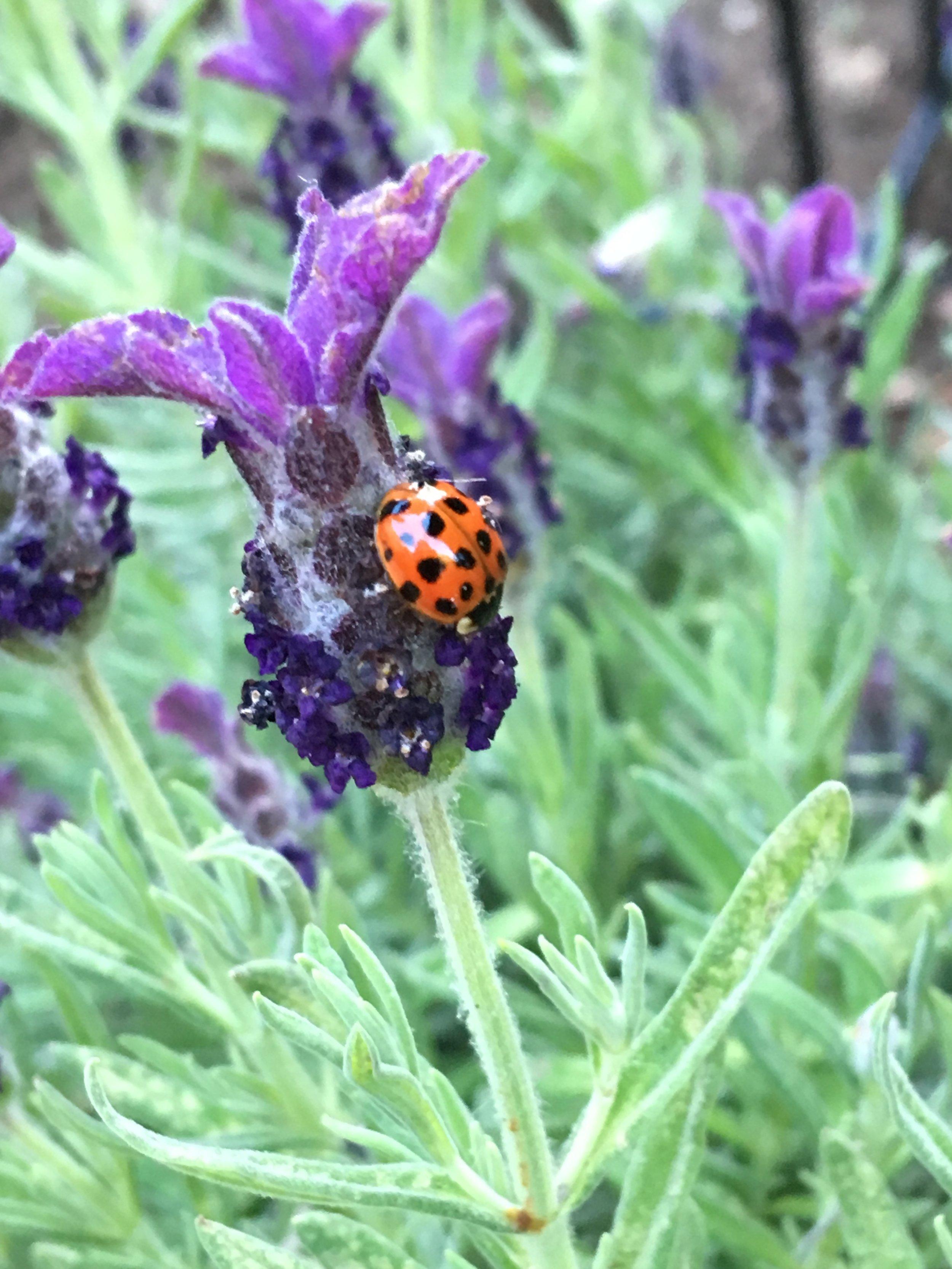 ladybug lavender.JPG