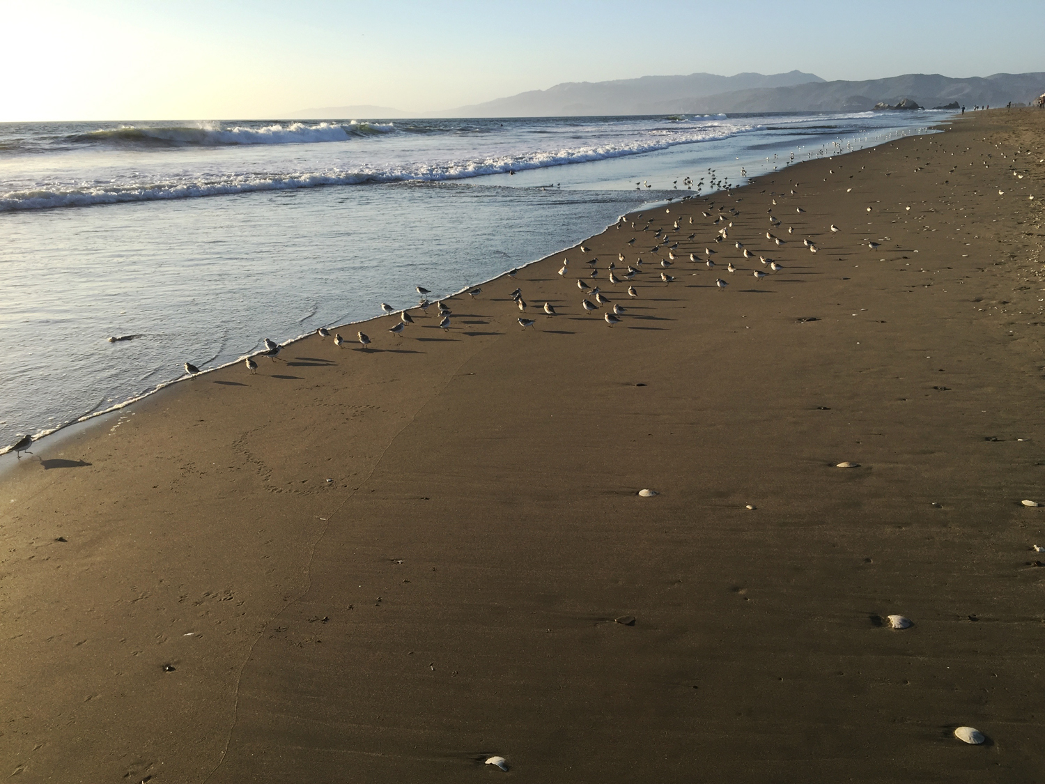 Ocean Beach   6:40 pm   These baby birds led me all the way up the beach.