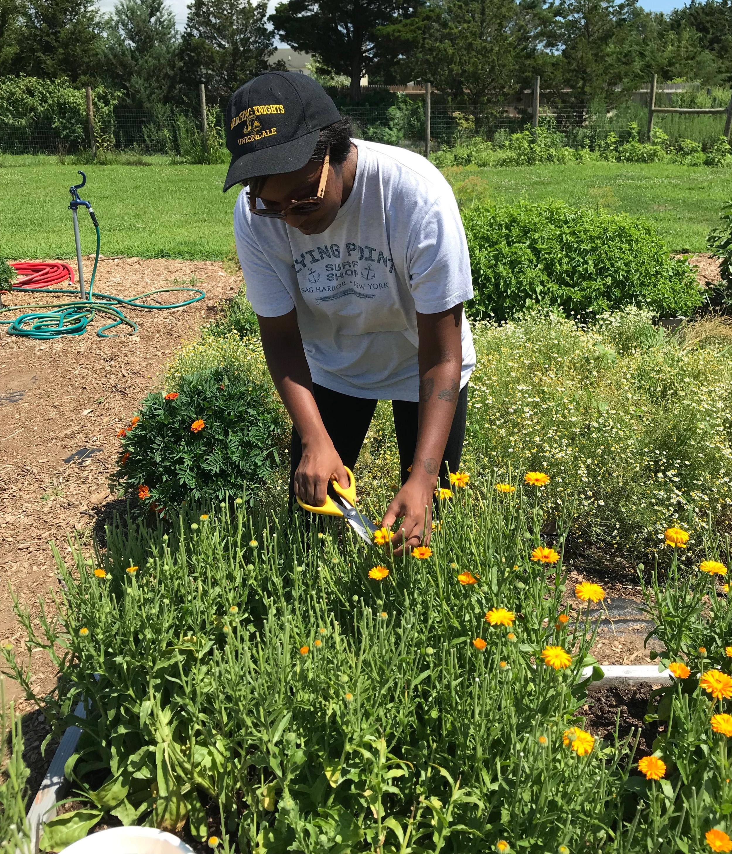 Harvesting calendula