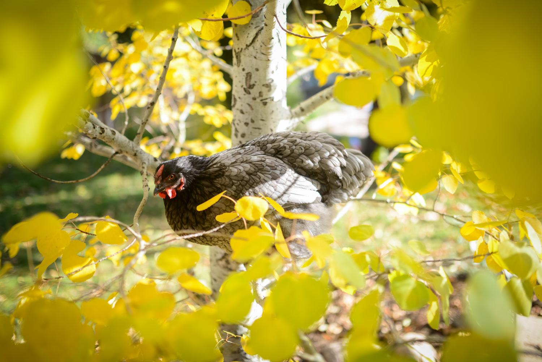 backyard-chicken-in-tree