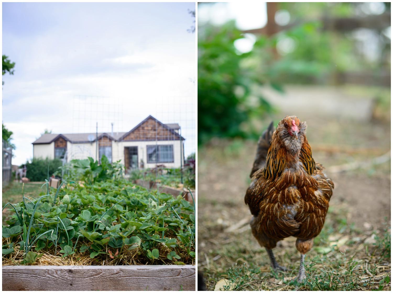 organic free range chicken on farm