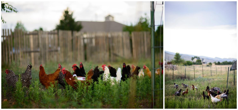 Organic free range chickens on boulder farm