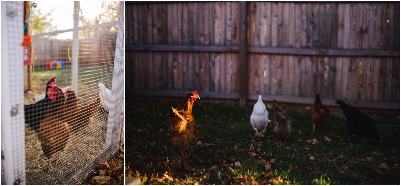 Denver backyard chickens