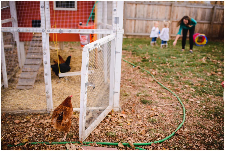 backyard chickens in Colorado