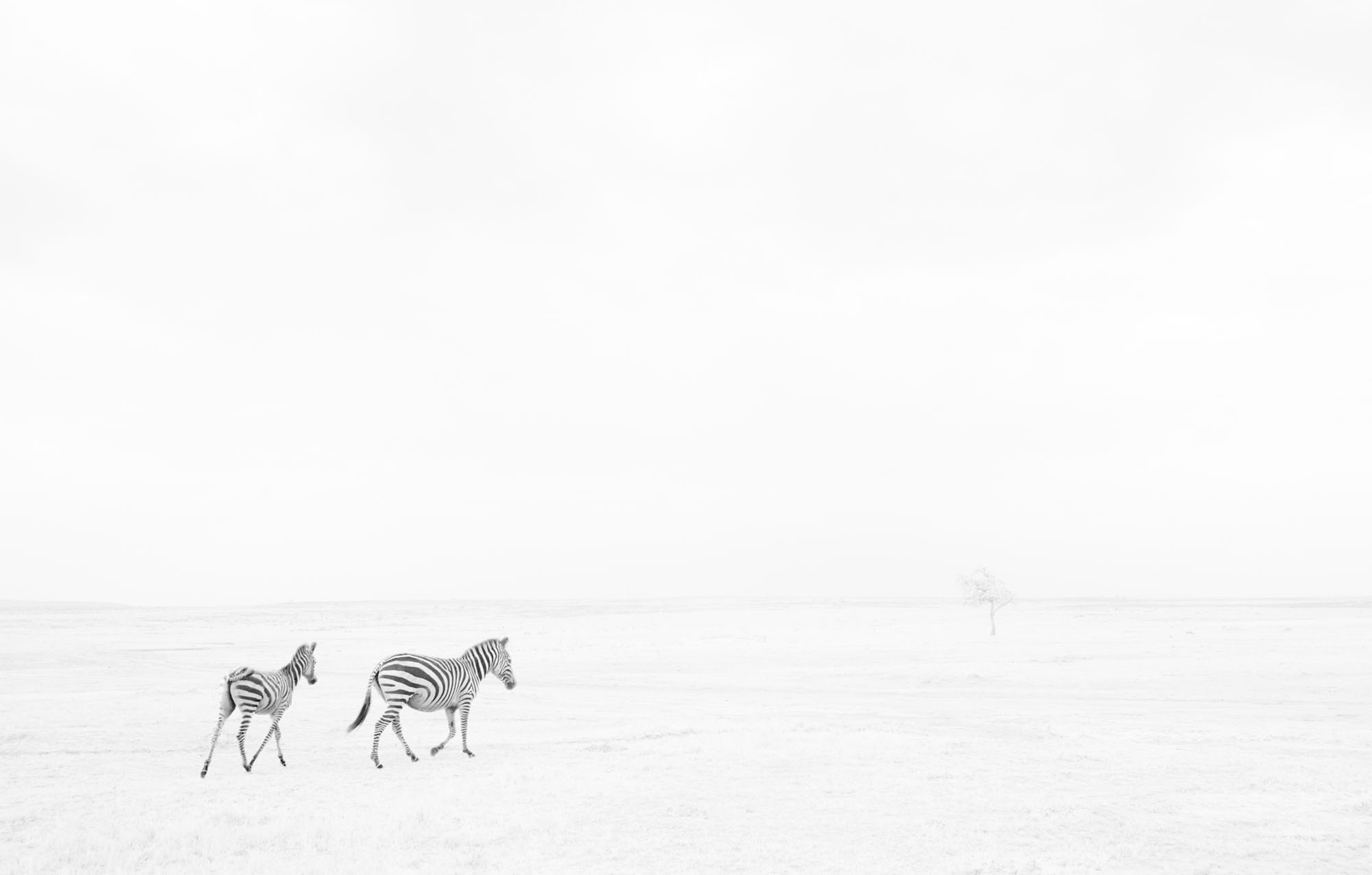 Common or Plains zebra (Equus quagga burchellii). Maasai Mara National Reserve, Kenya. July 2017.