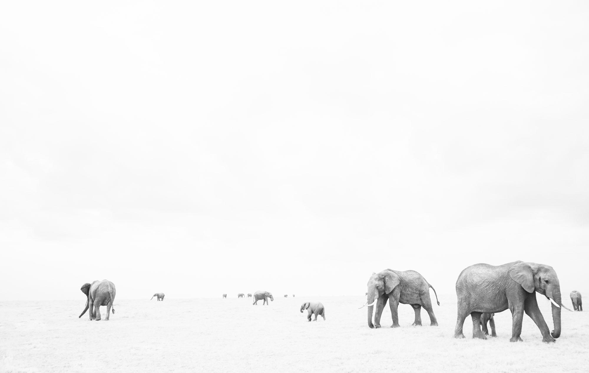 African elephant (Loxodonta africana). Maasai Mara National Reserve, Kenya. July 2017.