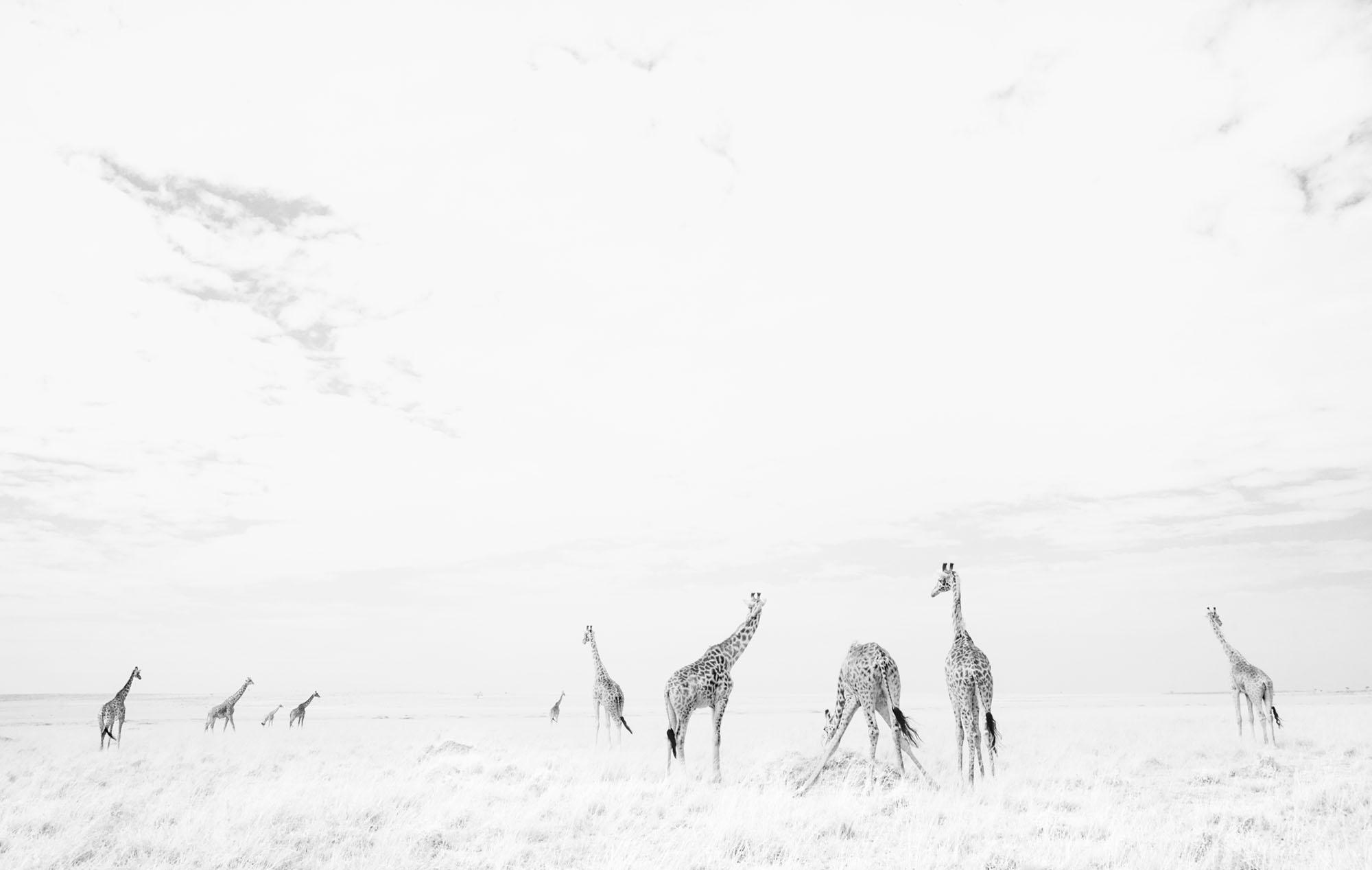 Maasai giraffes (Giraffa camelopardalis tippelskirchi). Maasai Mara National Reserve, Kenya. August 2017.