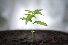 seedling-cannabis-growth-marijuana-trees-cannabis-leaves-plant-dark-background-medicinal-agricultur-seedling-138434198.jpg