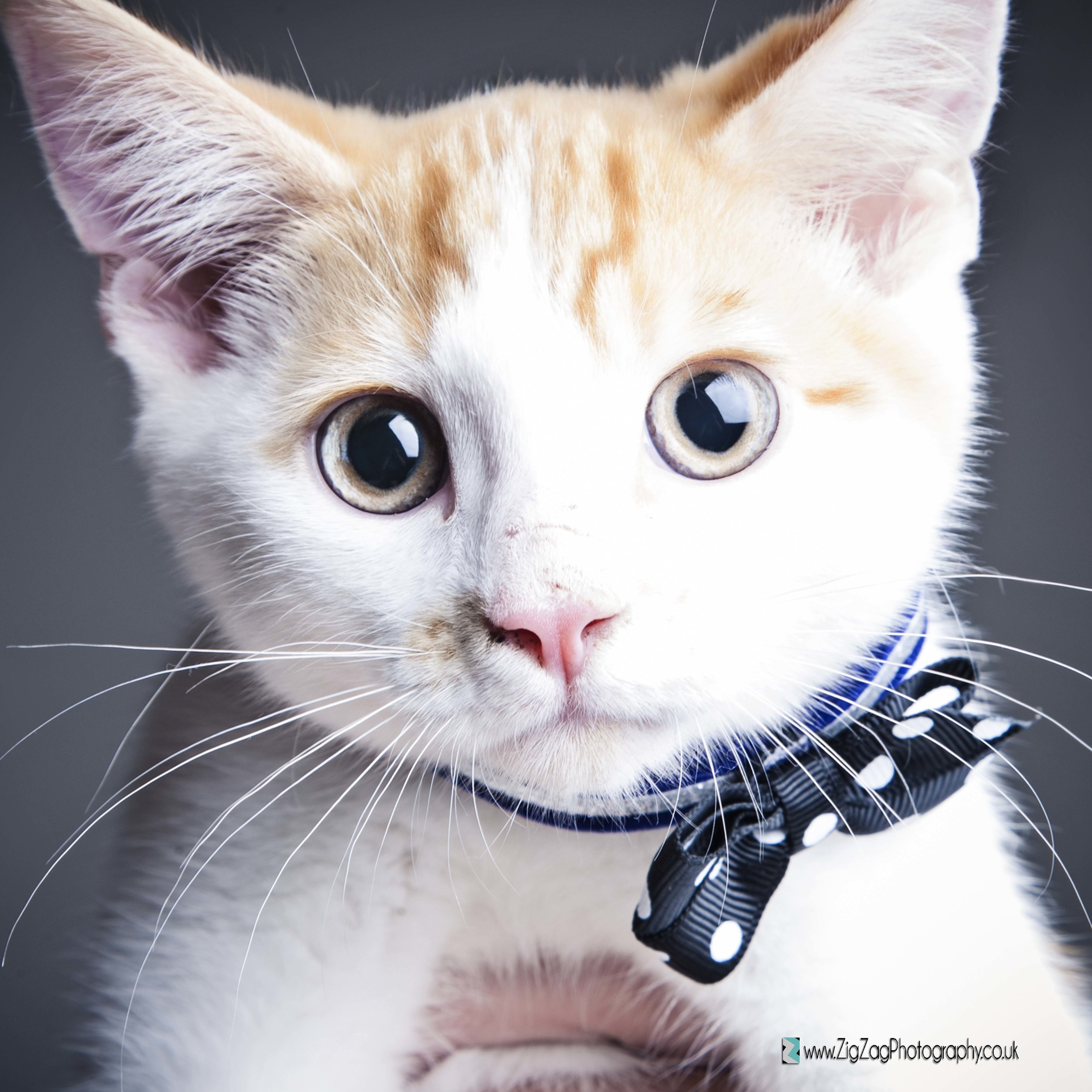photography-leicester-studio-photoshoot-session-pets-cat-animals-kitten-bow-eyes-whiskers.jpg