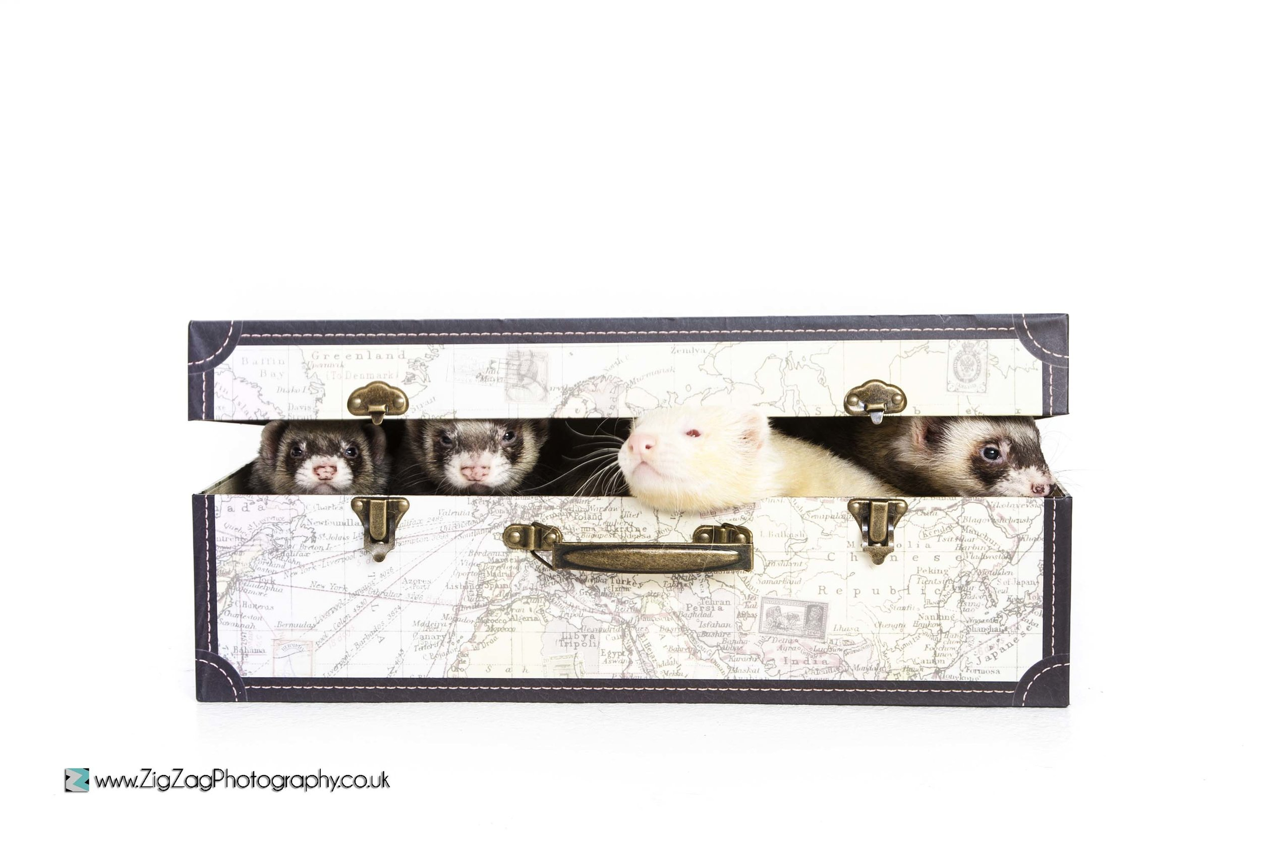photography-session-studio-leicester-photoshoot-zigzag-case-suitcase-vintage-pets-animal-ferret-furry-small-unusual.jpg
