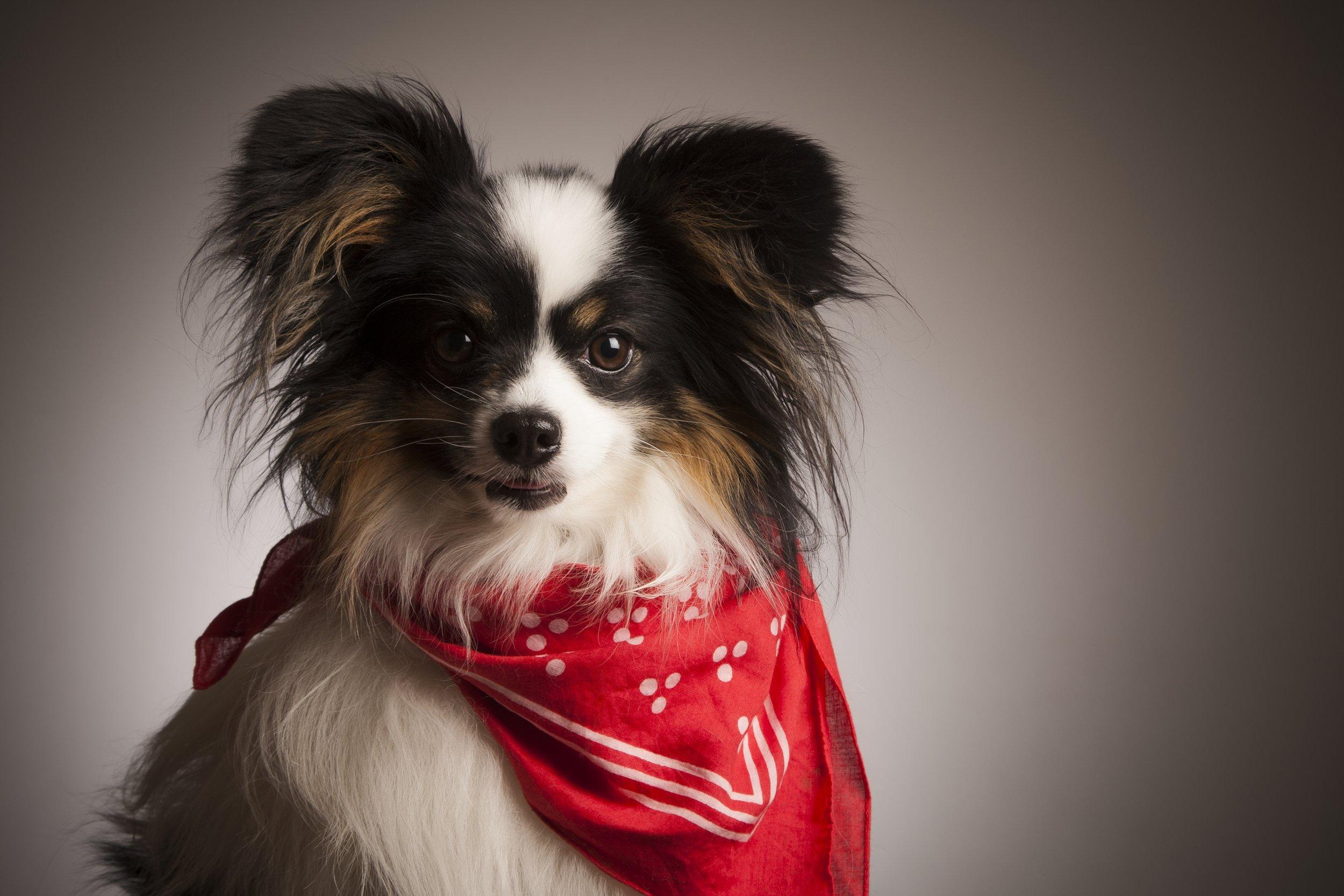 zigzag-photography-leicester-zig-zag-photographers-photo-studio-clarendon-park-queens-road-best-family-portraits-children-dog-bandana-red-animal.jpg