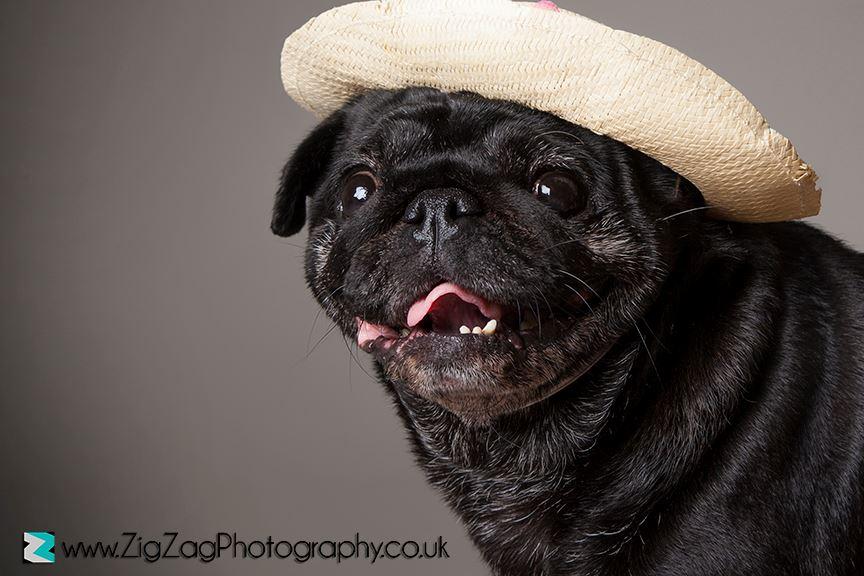 pet-portraits-leicester-dog-photography-photo-shoot-animal-pug-zigzag-zig-zag.JPG