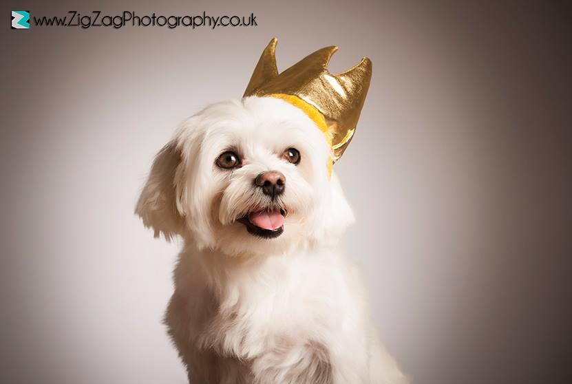 pet-portraits-leicester-photography-dog-crown-ideas-props-photo-shoot-le2-zigzag-zig-zag.JPG