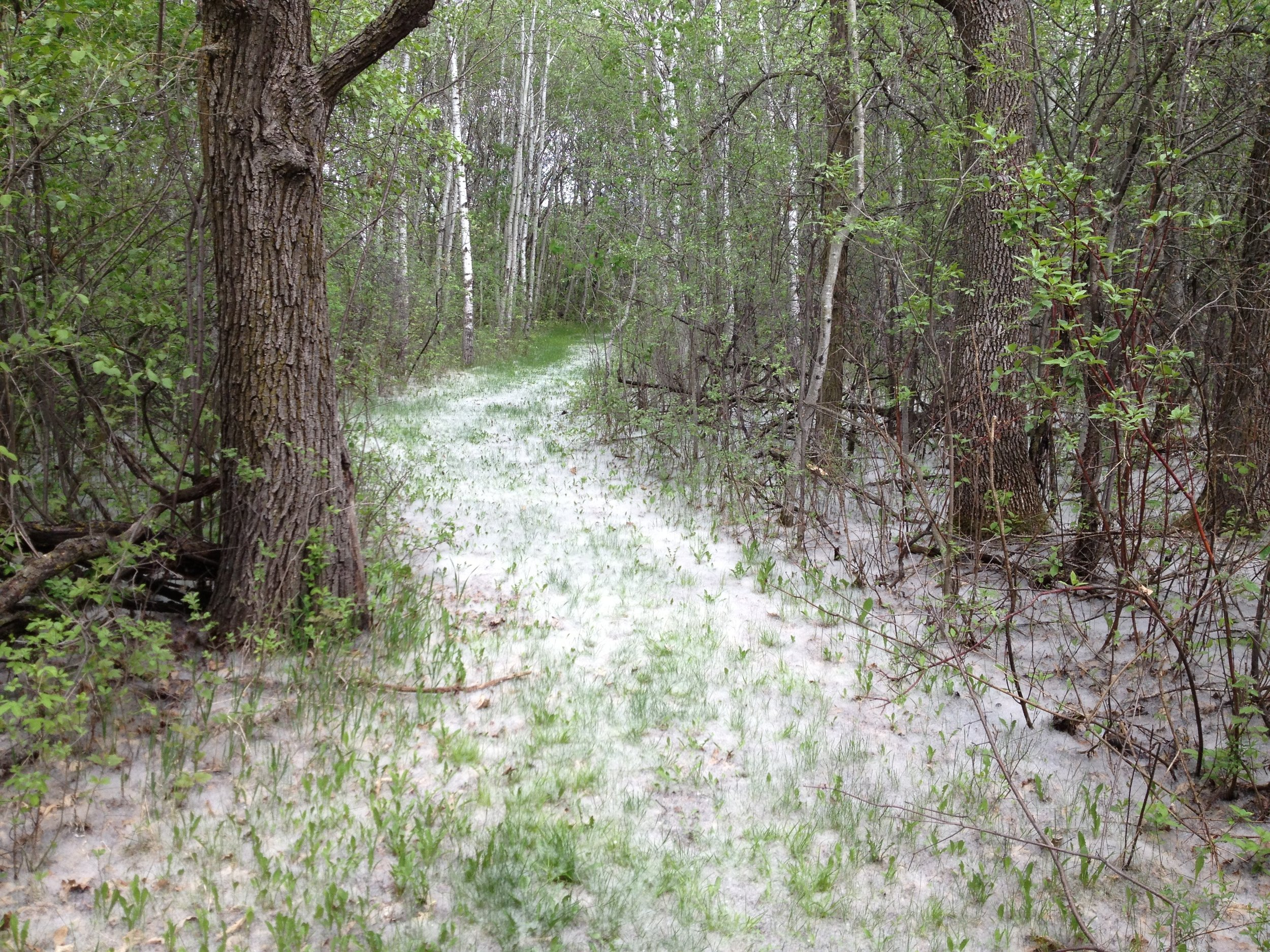 A path through the woods carpeted with poplar seeds at St. Benedict's Monastery.  Credit: Nelle Oosterom