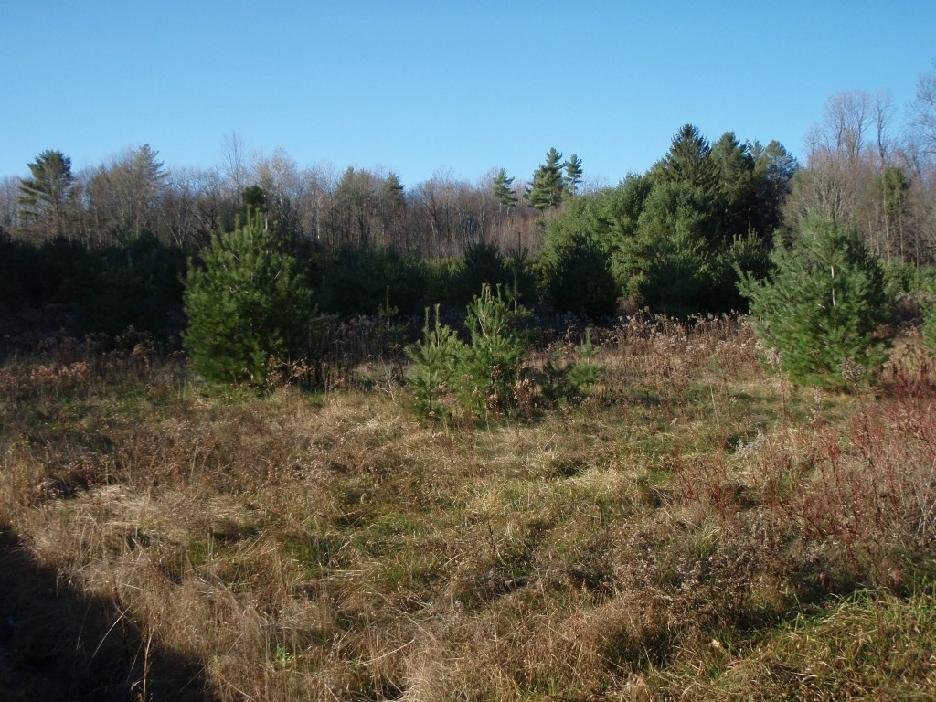 Young pines colonizing a meadow in the upper Hudson region, November 2011