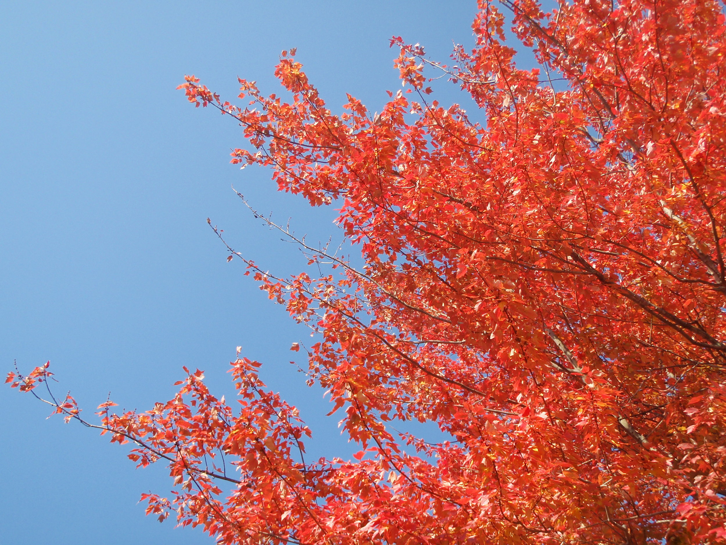 Maple leaves in the morning light of October.