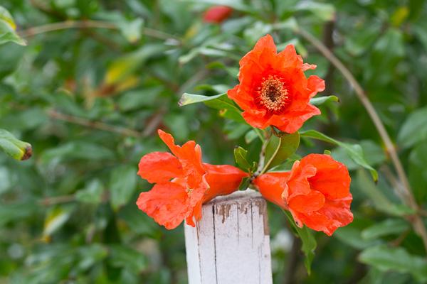 Pomegranate flowers
