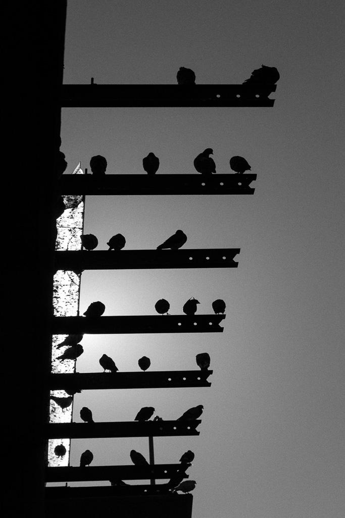 Glen Park BART Pigeons