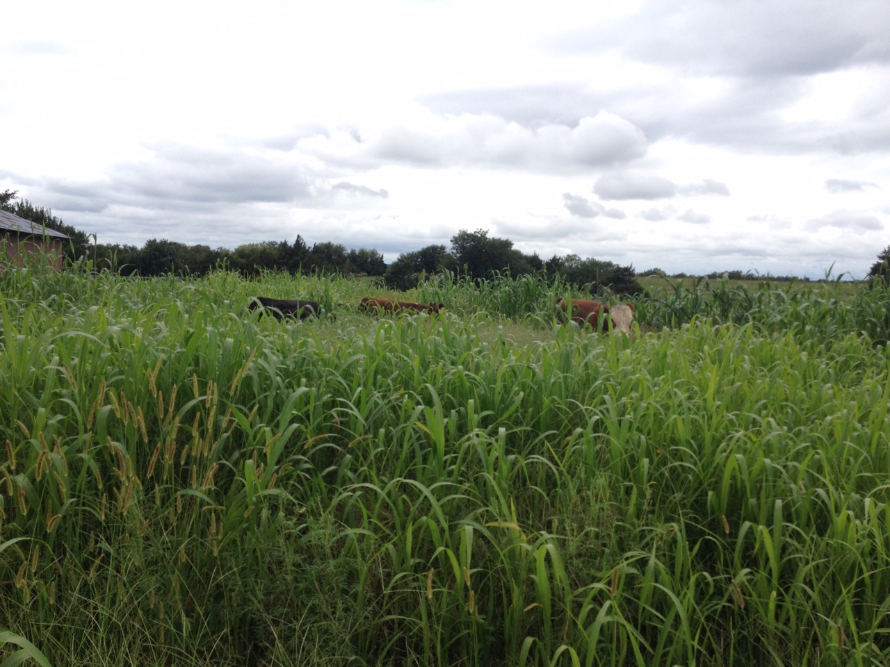 Yearling steers and a young bull enjoying the sorghum sudan and other forages, August 30, 2016. A patch of taller, darker growth is seen in the back.