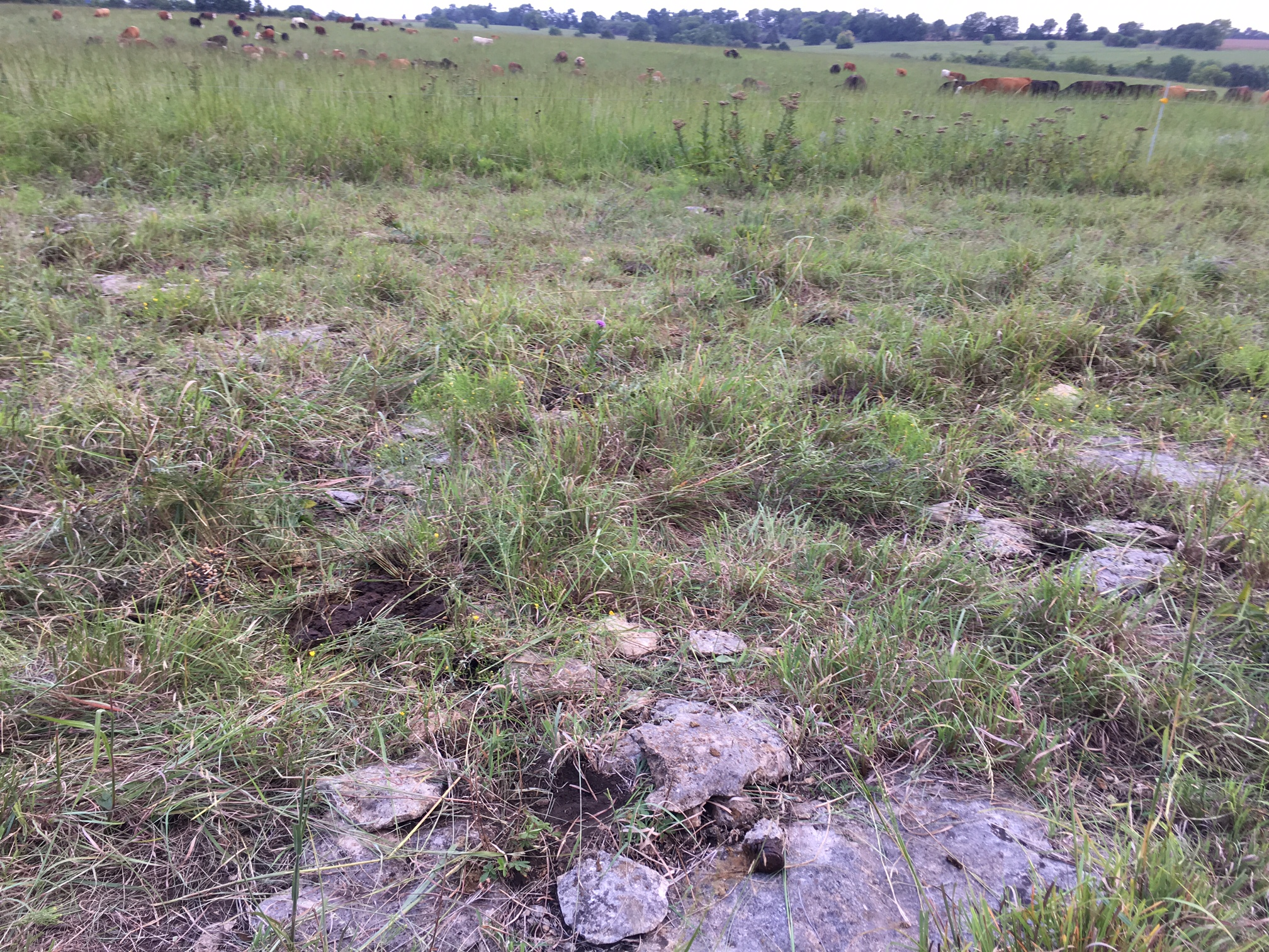Plow up this prairie? It ain't happenin'. Just-grazed pasture after cattle move, August 2016, Tallgrass Network demonstration site in Eastern Kansas.